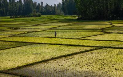 campi riso india